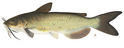Channel_catfish1