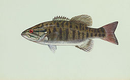 Smallmouth_bass (1)