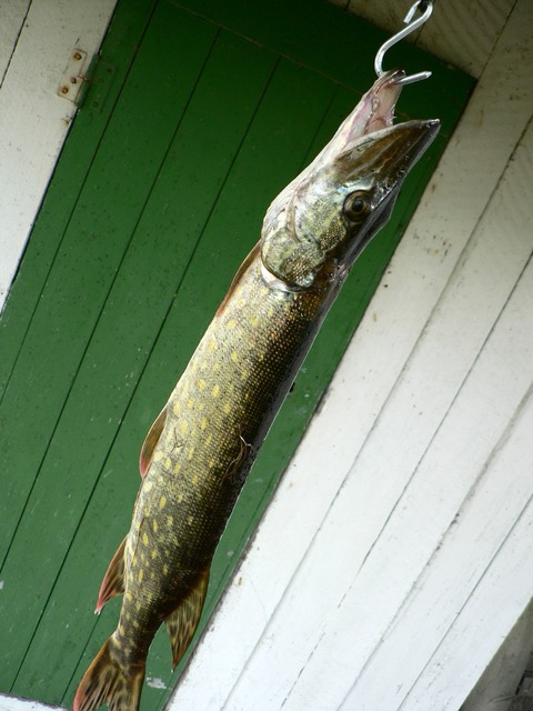 Northern Pike fishing tips